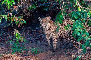 Jaguar (Puma onca) - SMJp#178d
