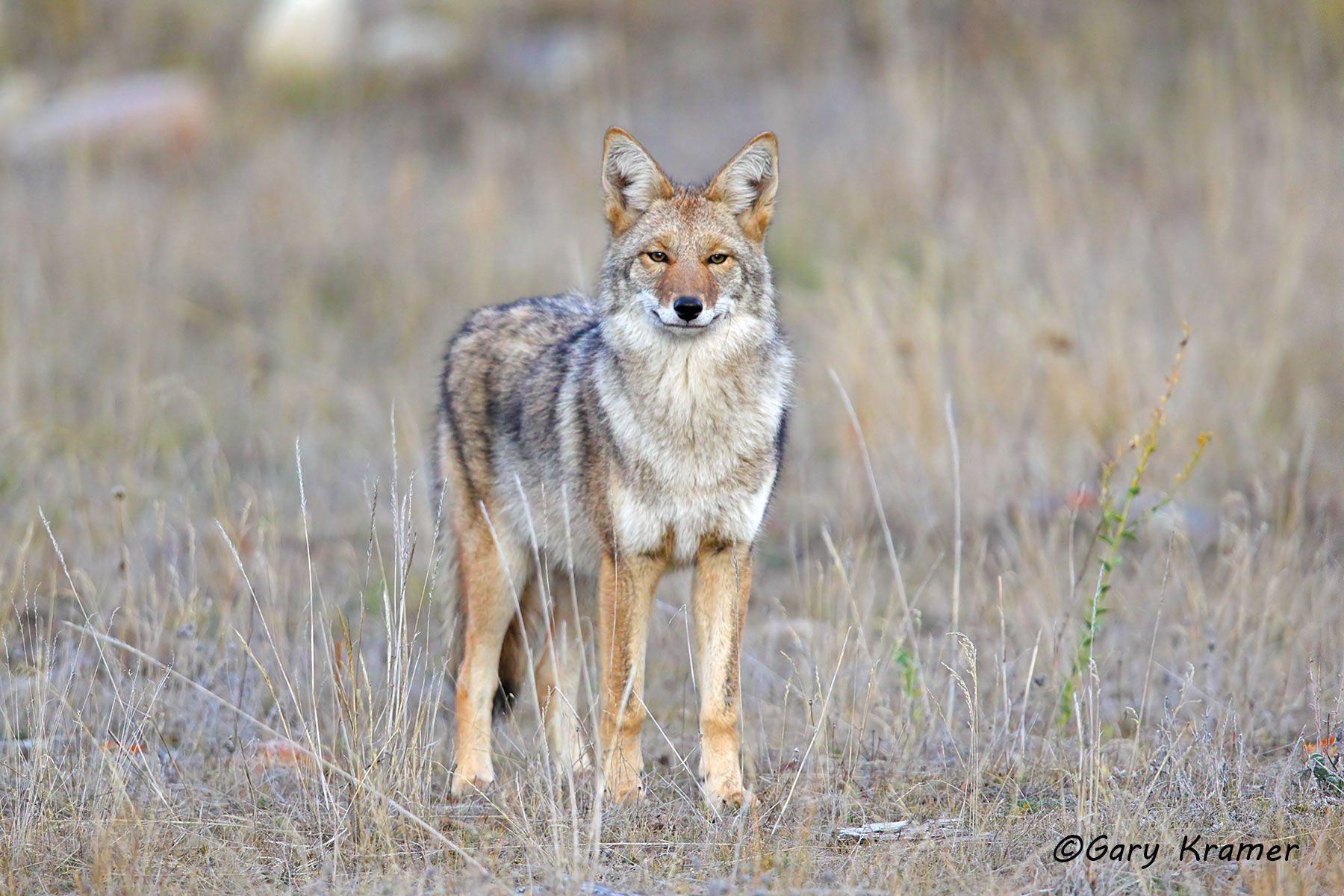 Coyote (Canis latrans) - NMC#1192d