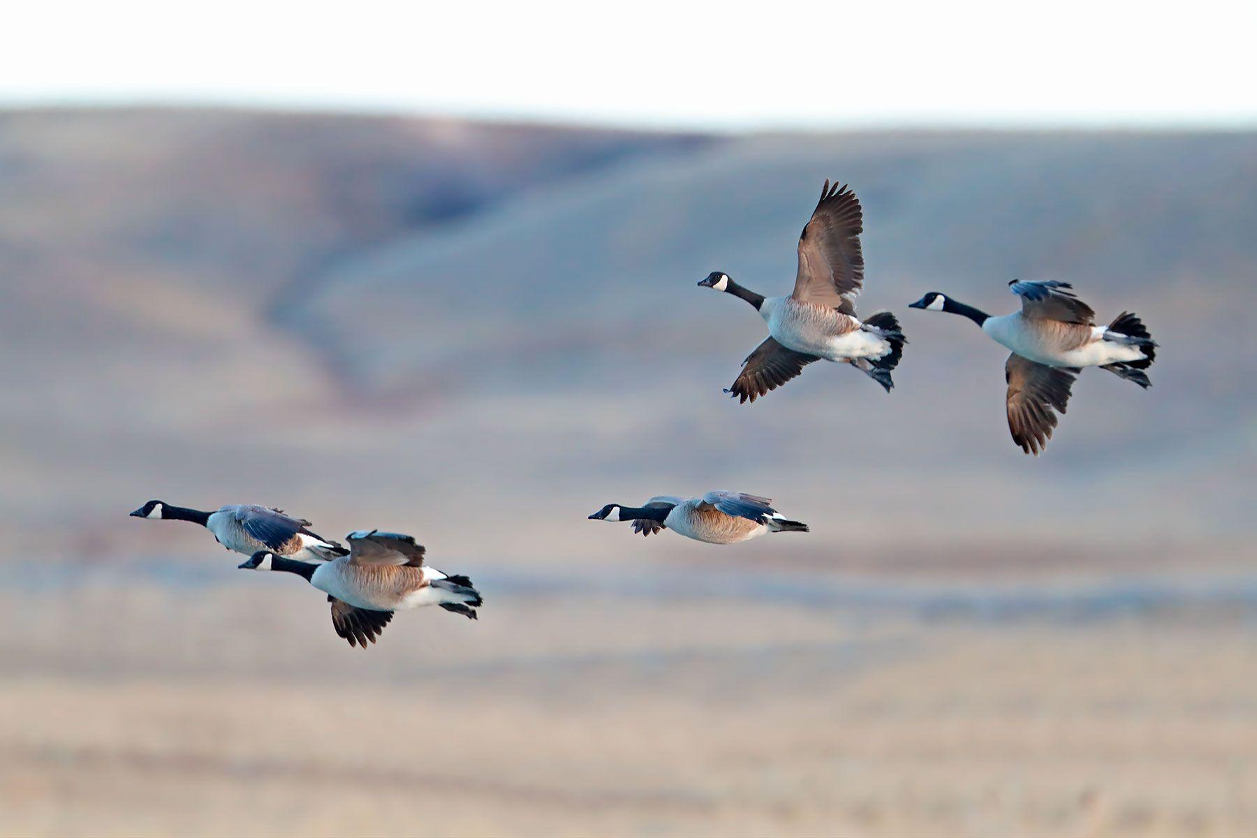 Canada Goose (Branta canadensis) - NBWCg#1098d