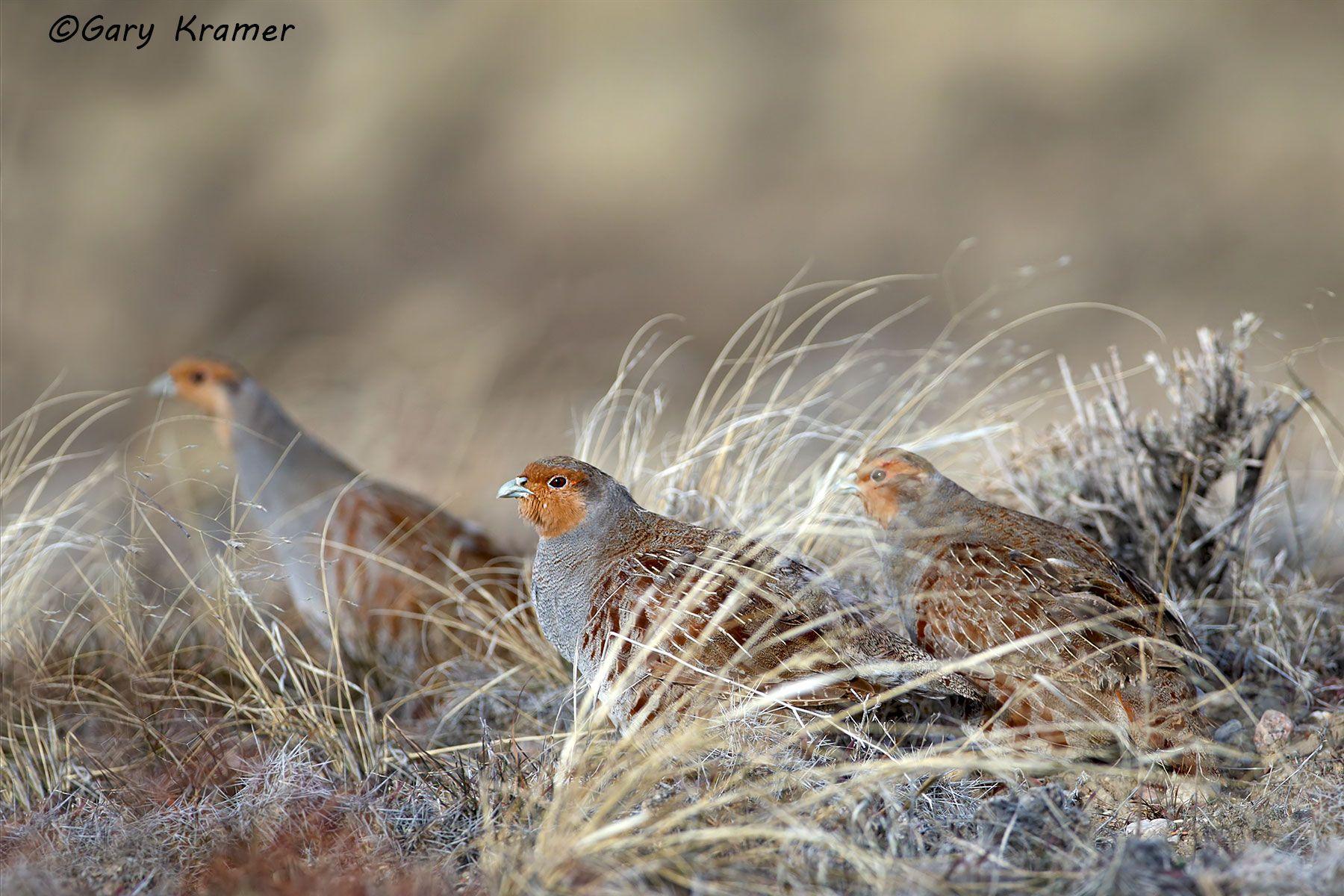 Gray (Hungarian) Partridge (Perdix perdix) - NBGGp#179d