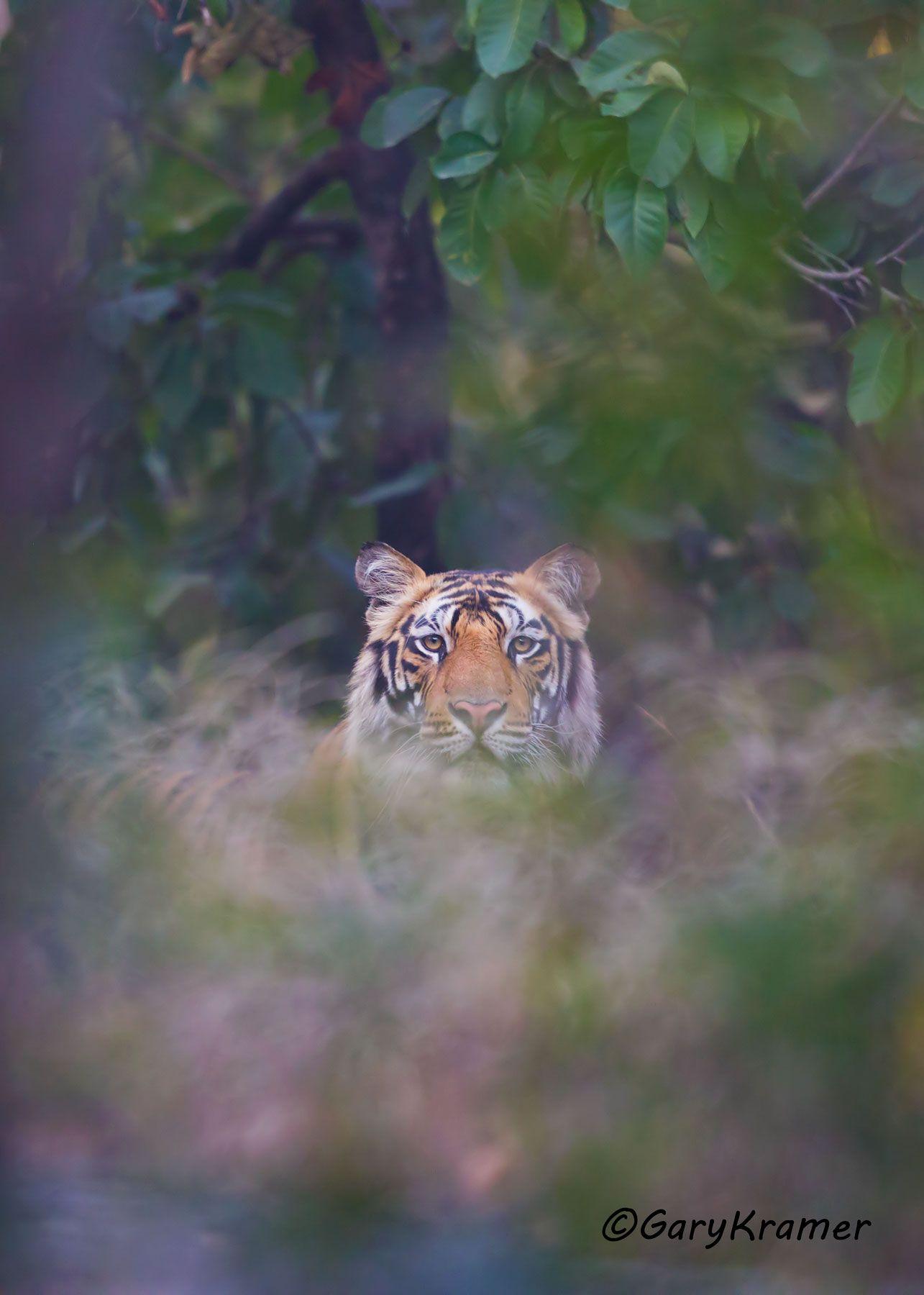 Tiger (Bengal) (Panthera tigrus tigrus) - AMTb#093d