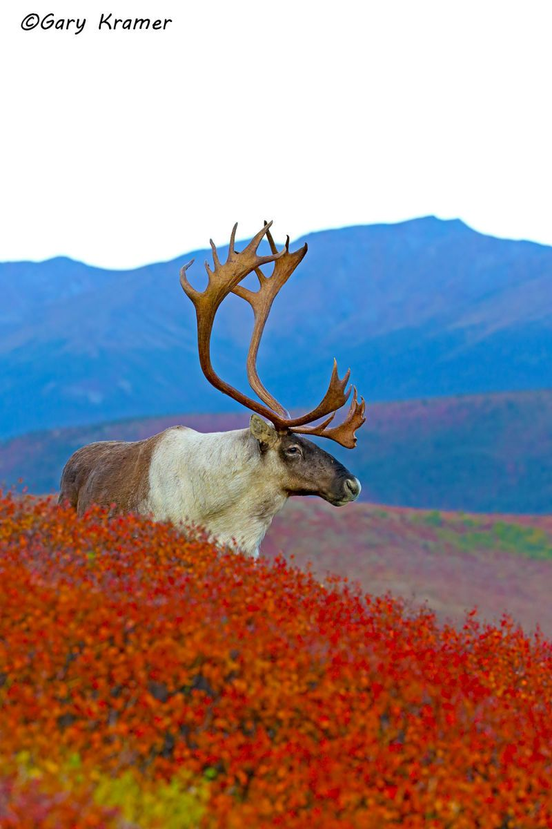 Barren Ground Caribou (Rangifer tarandus granti) - NMCb#758d