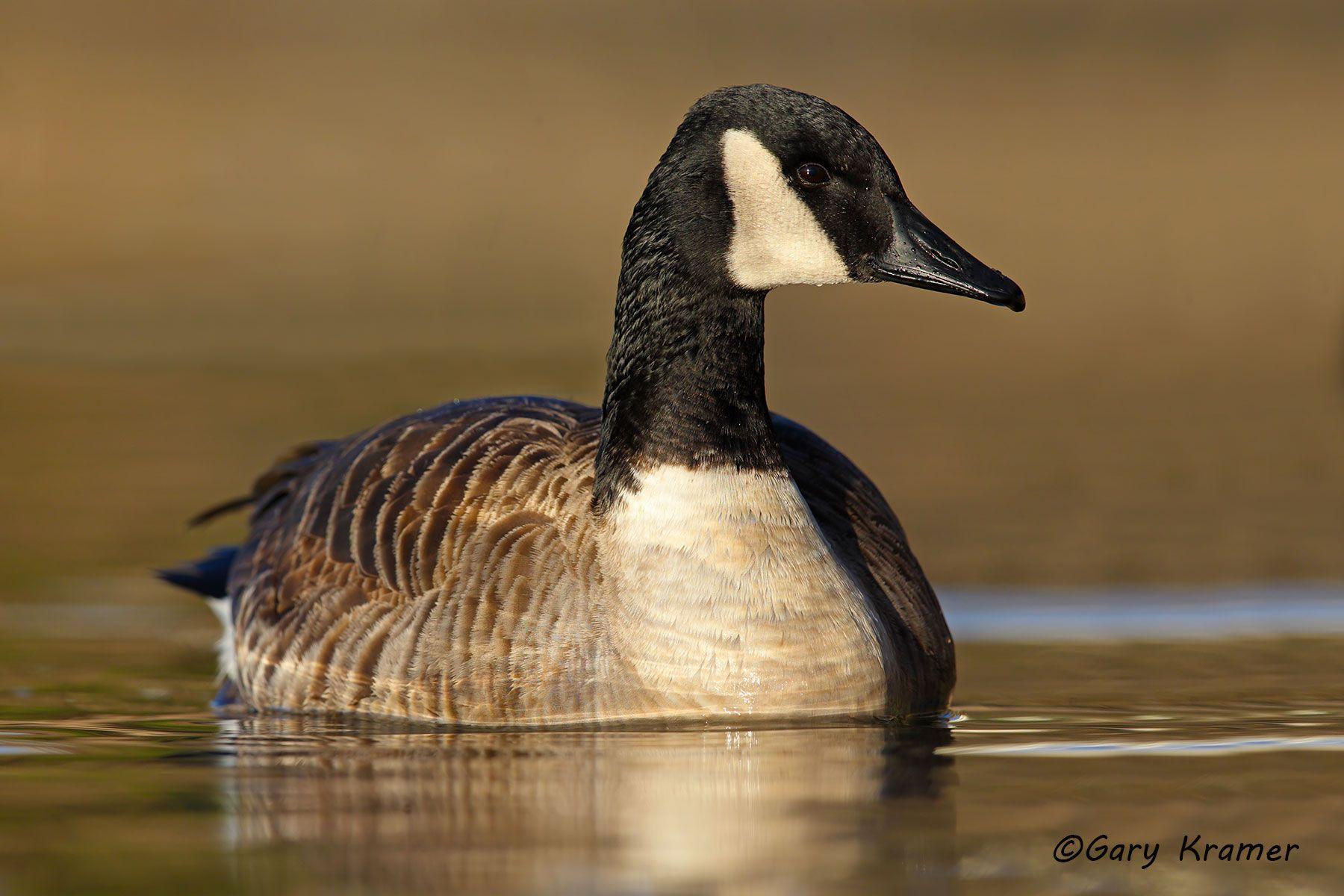 Canada Goose (Branta canadensis) - NBWCg#901d