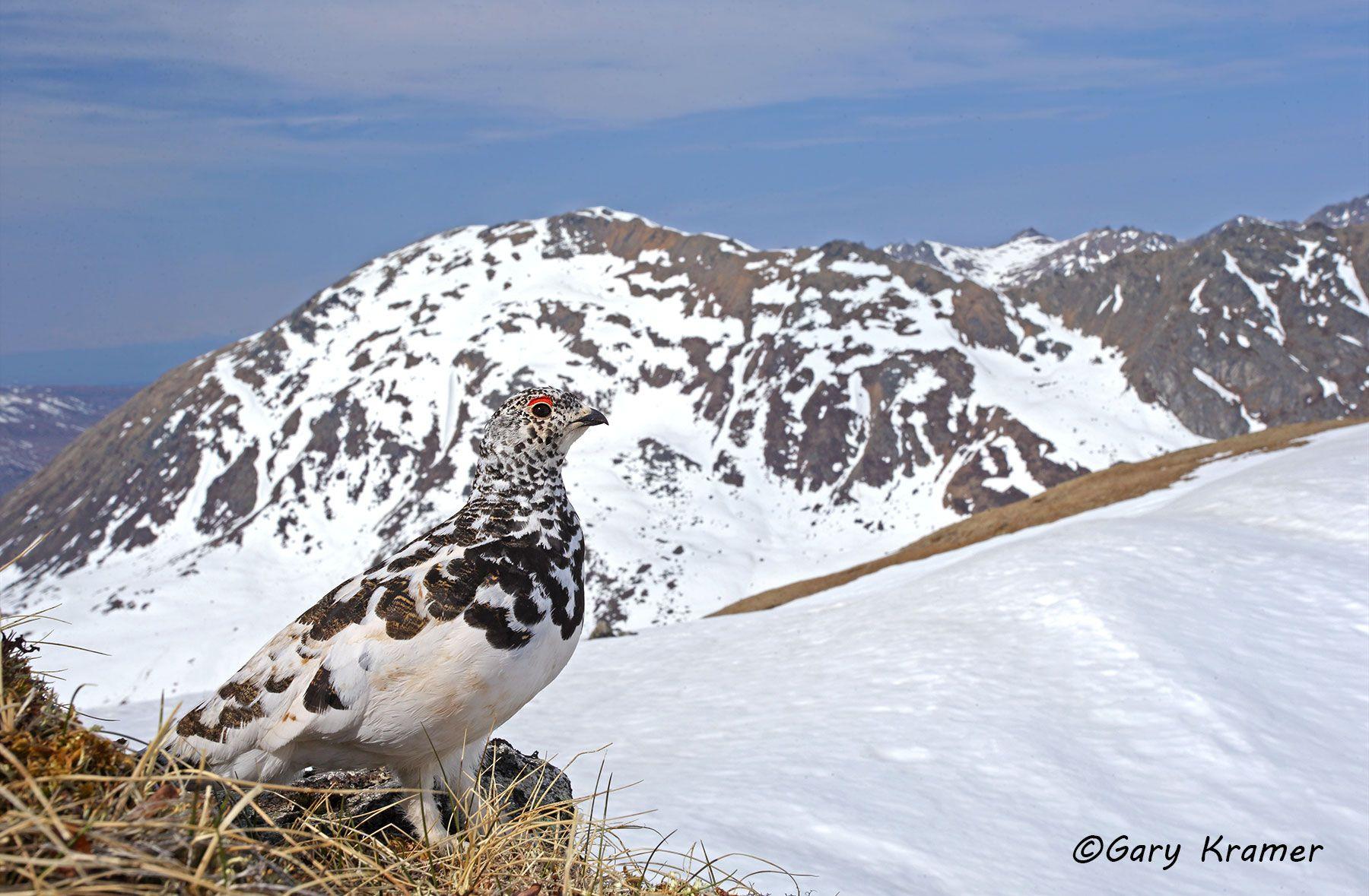 White-tailed Ptarmigan (spring) (Lagopus leucurus) - NBGPts#173d