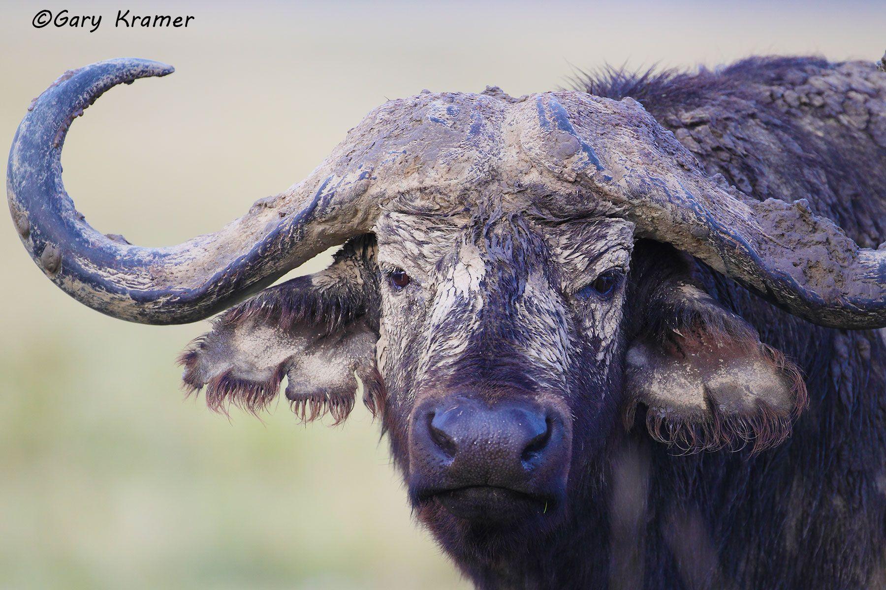 Cape Buffalo (Syncerus caffer) - AMB#816d