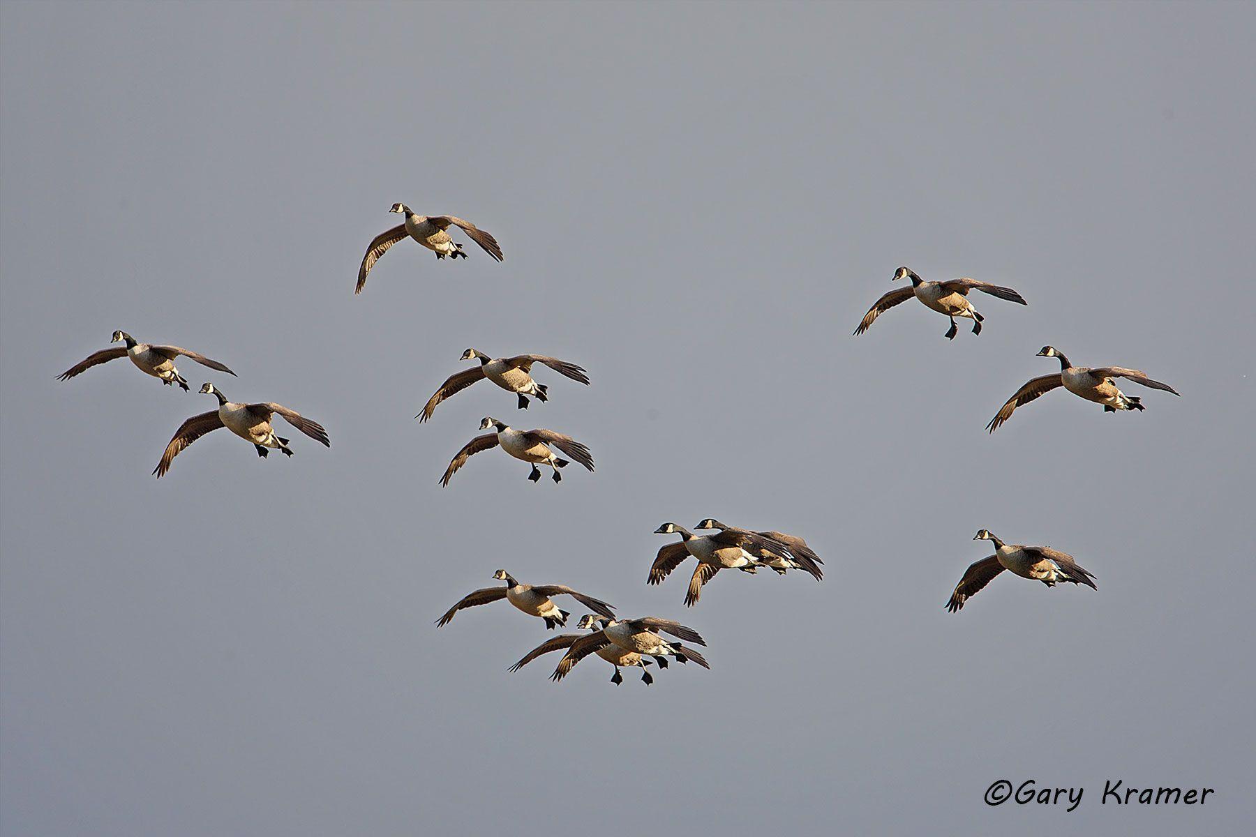 Canada Goose (Branta canadensis) - NBWCg573d