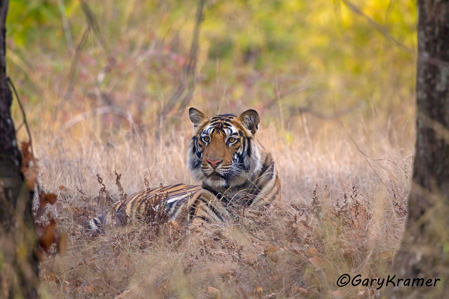 Tiger (Bengal) (Panthera tigrus tigrus) - AMTb#100d