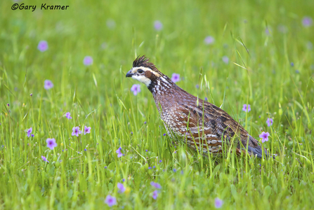 Quail - Bobwhite - California - Scaled