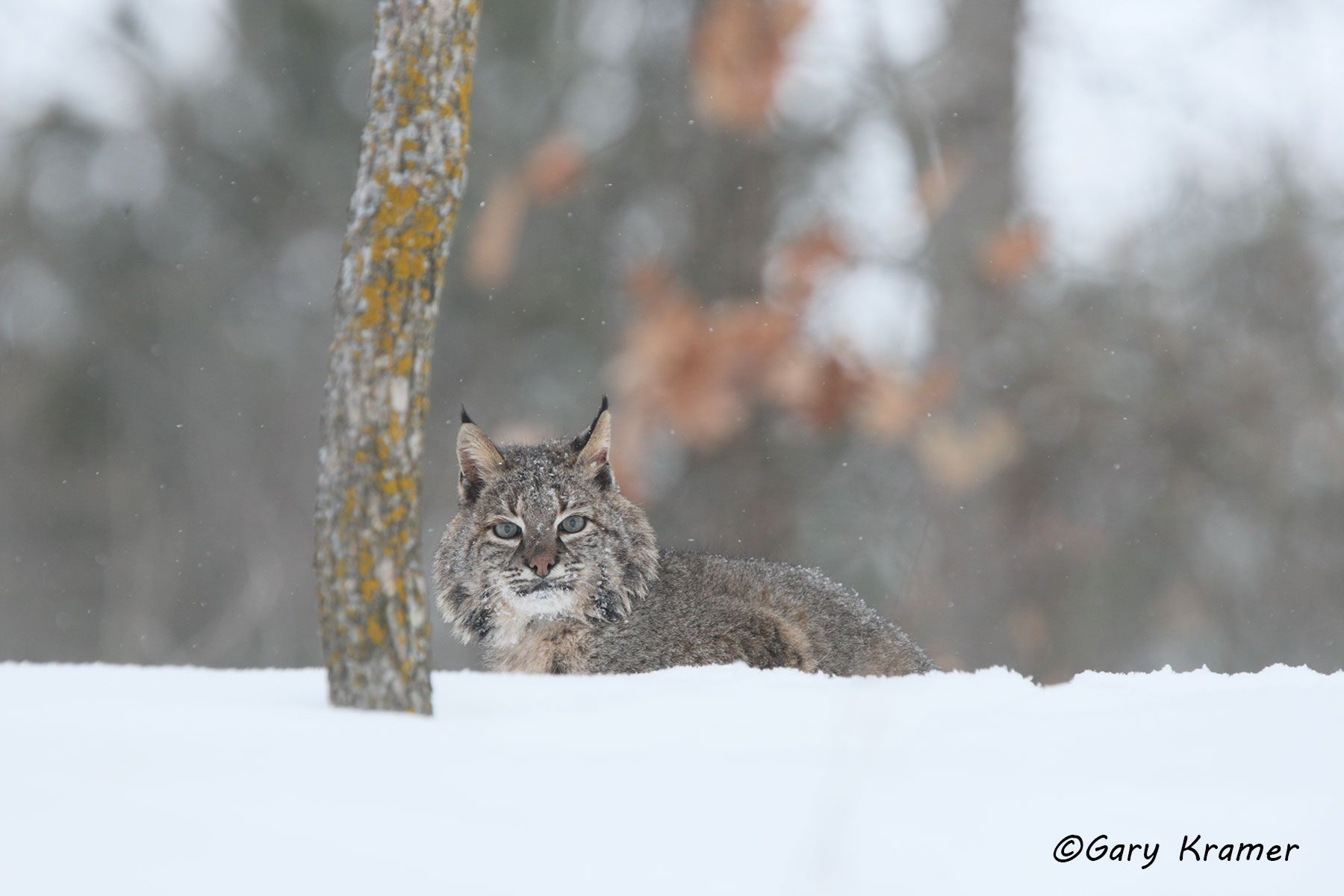 Bobcat (Lynx rufus) - NMCB#236d