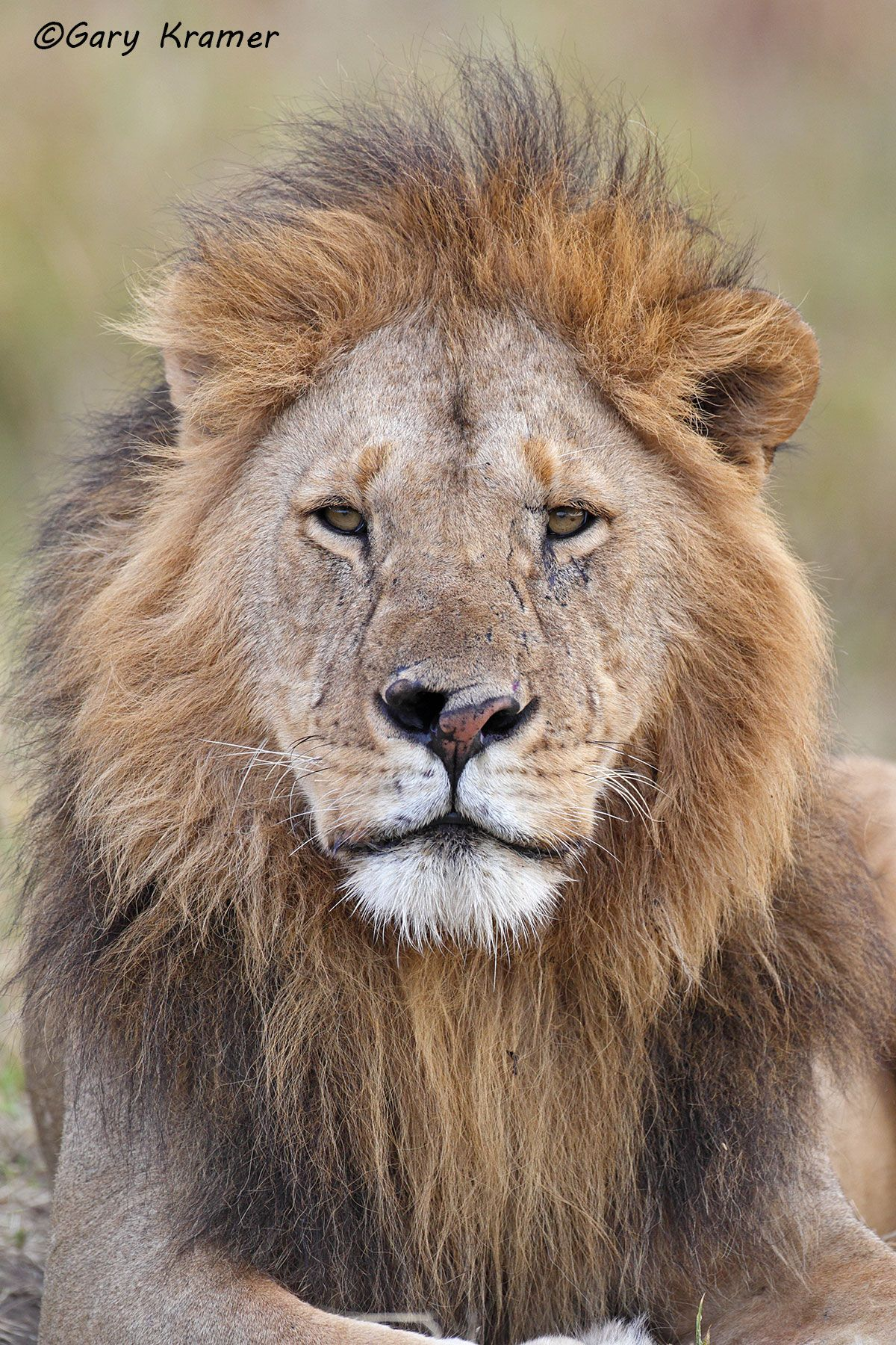 African Lion (Panthera leo) - AMPA#520d