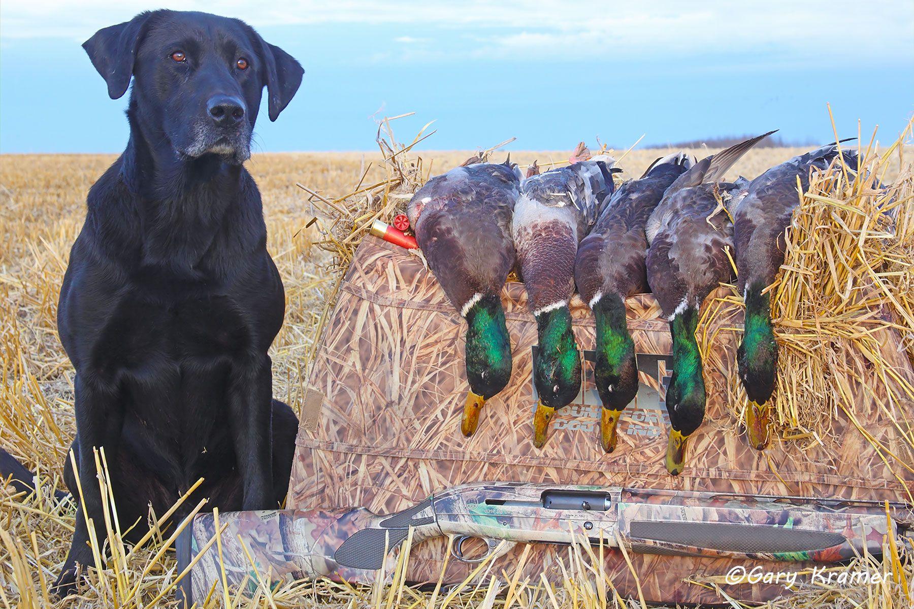 Black Labrador w/Mallards - HDLbm#071d