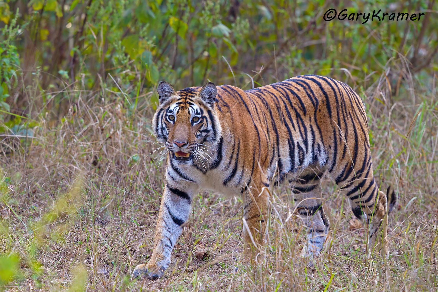Tiger (Bengal) (Panthera tigrus tigrus) - AMTb#221d