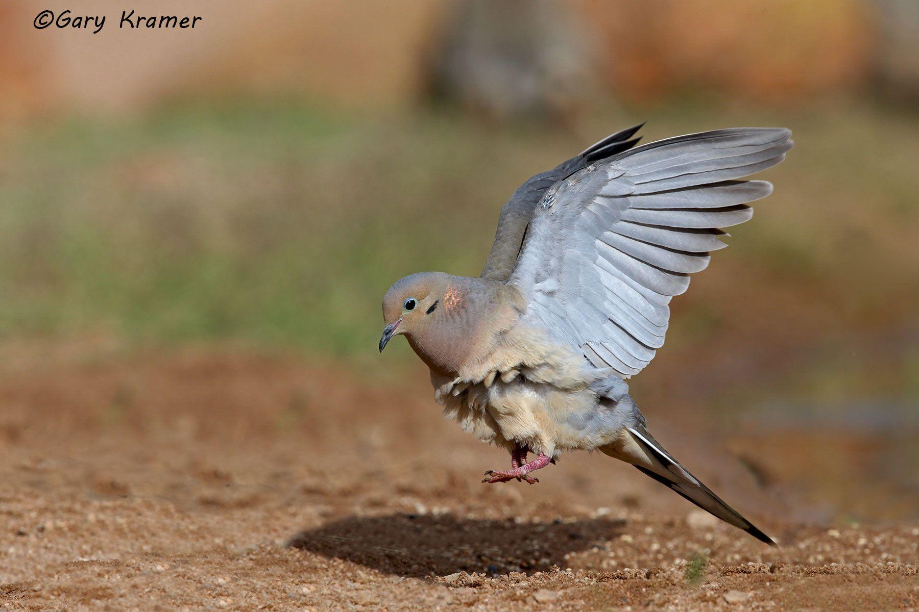 Mourning Dove (Zenaida macroura) - NBDM#548d