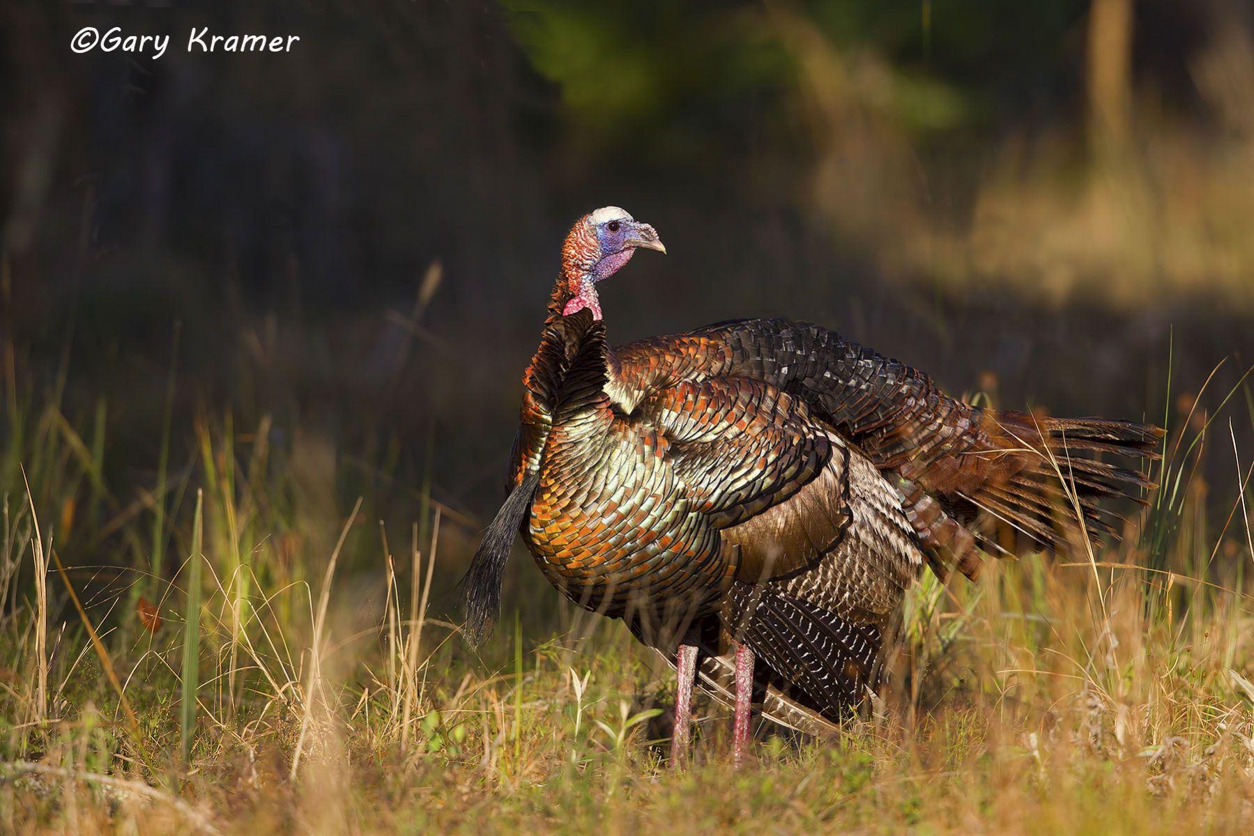 Wild Turkey (Osceola) (Melleagris gallopavo osceola) - NBGTo#054d