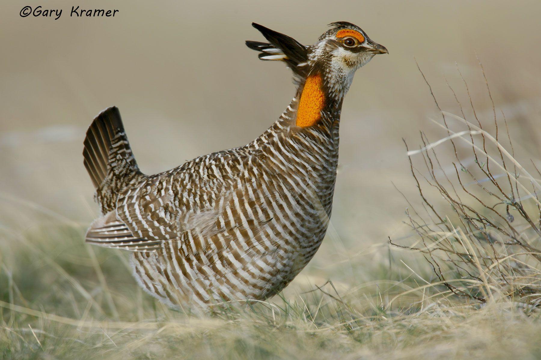 Greater Prairie Chicken (Tympanuchus cupido) - NBGCg#244d