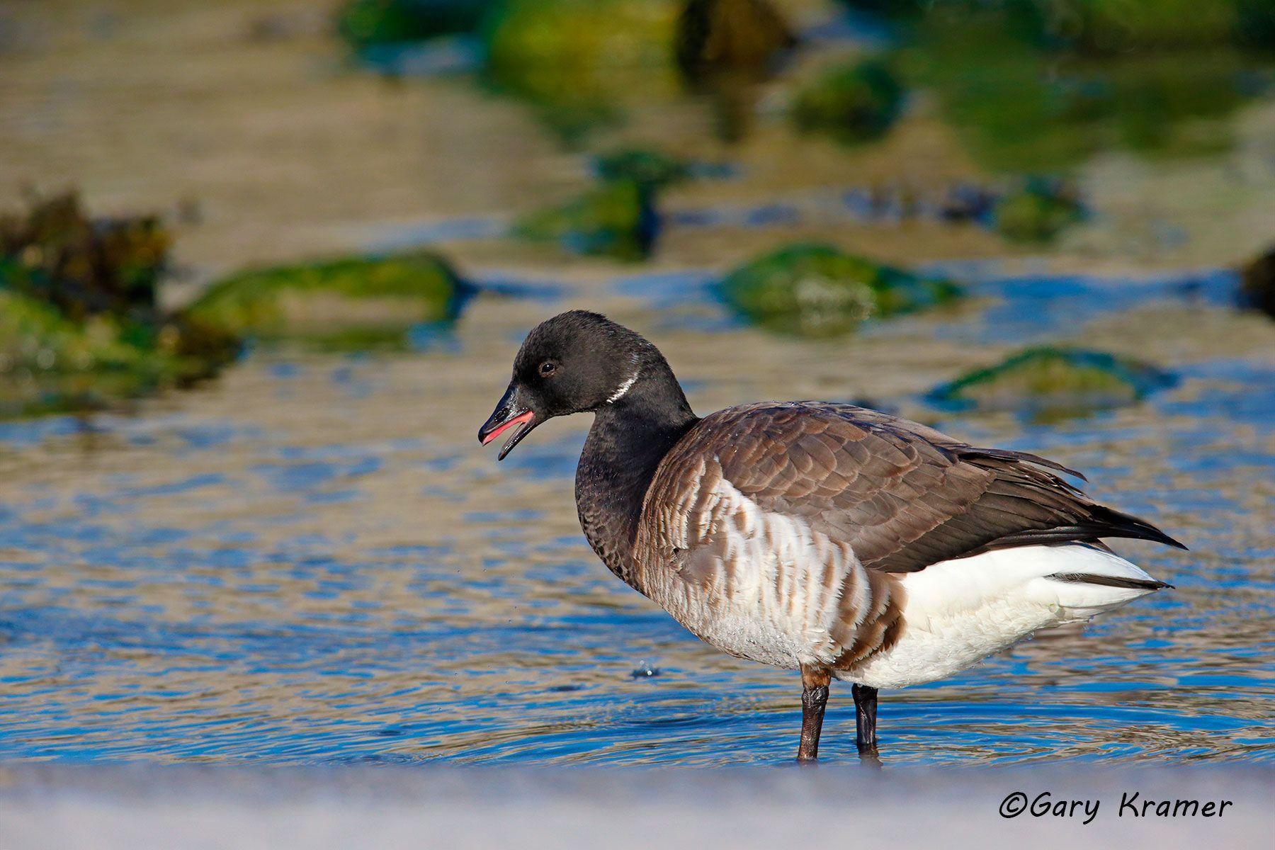 Pale-bellied (Atlantic) Brant (Branta bernicla hrota) - NBWBa#337d
