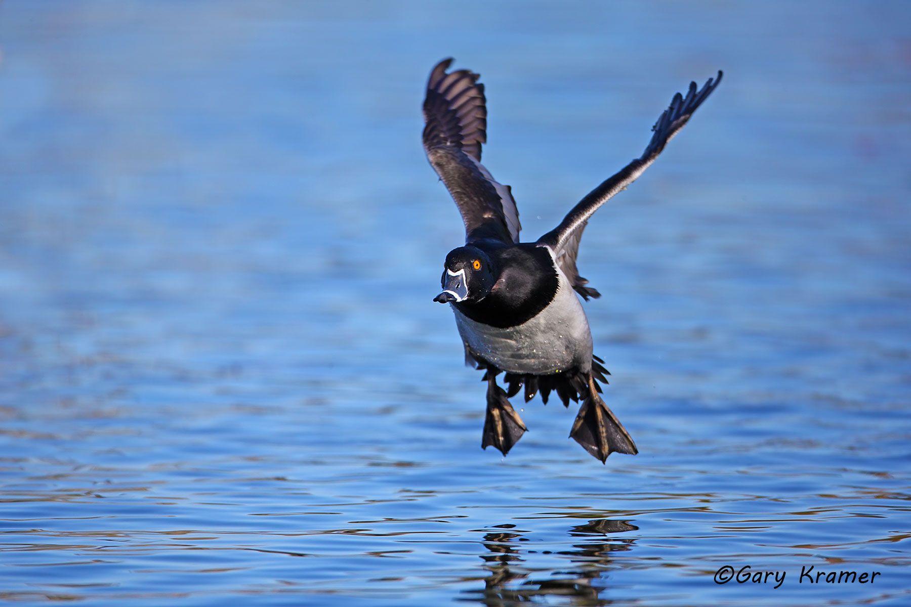 Ring-necked Duck (Aythya collaris) - NBWRn#456d