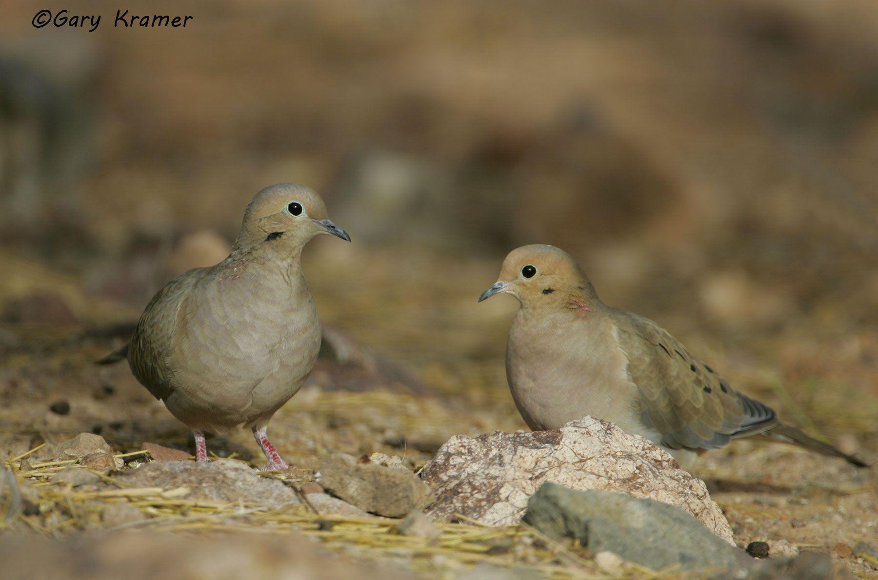 Mourning Dove (Zenaida macroura) - NBDM#237d