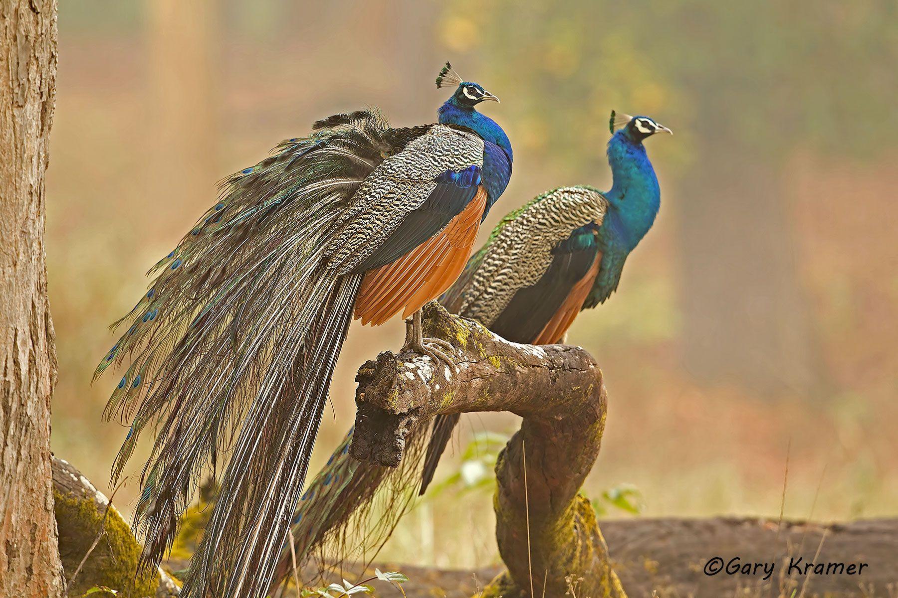 Indian (Common) Peafowl (Pavo cristatus) - AsBP#008d