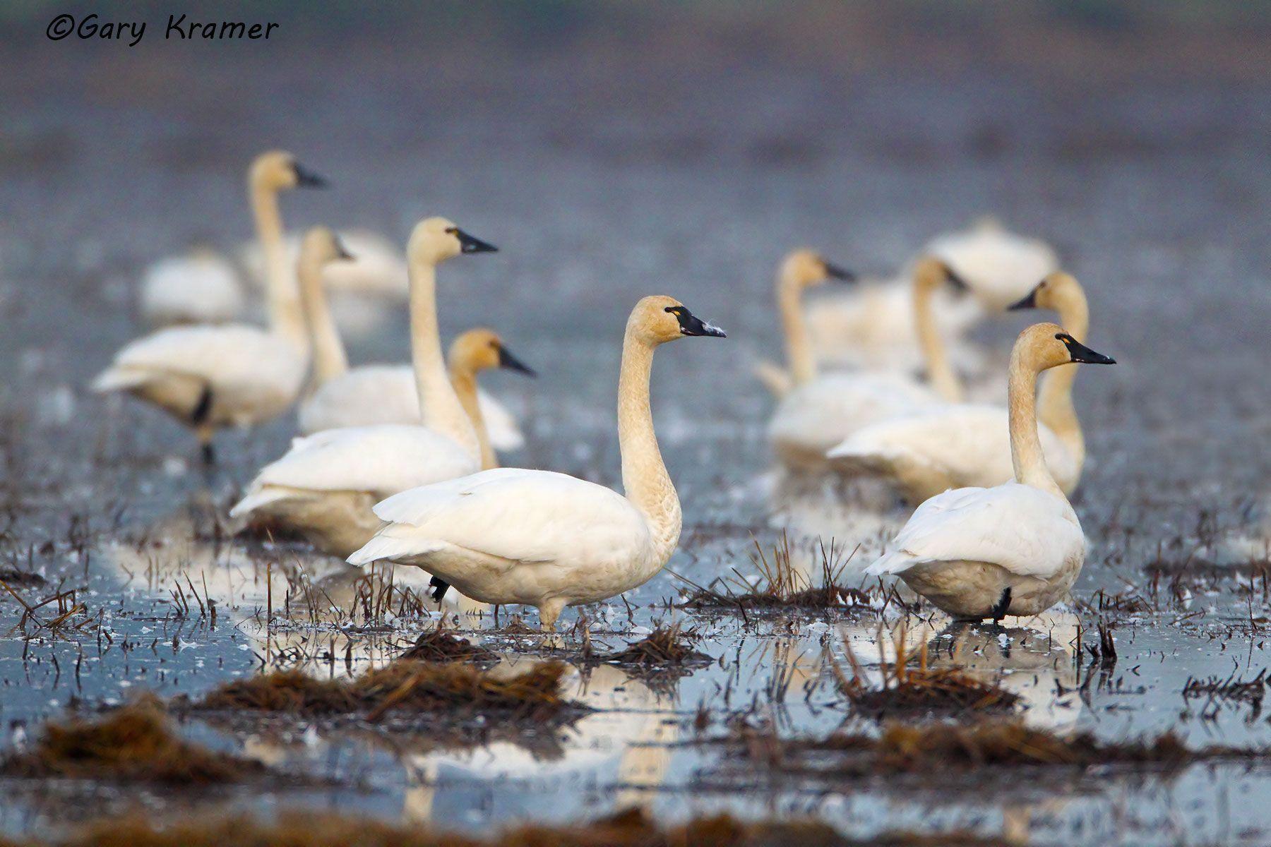 Tundra (Whistling) Swan (Cygnus columbianus) - NBWT#246d