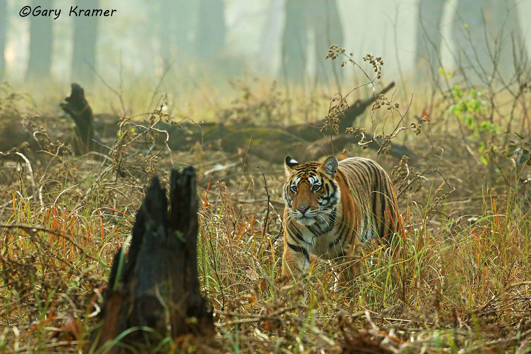 Tiger (Bengal) (Panthera tigrus tigrus) - AMTb#502d