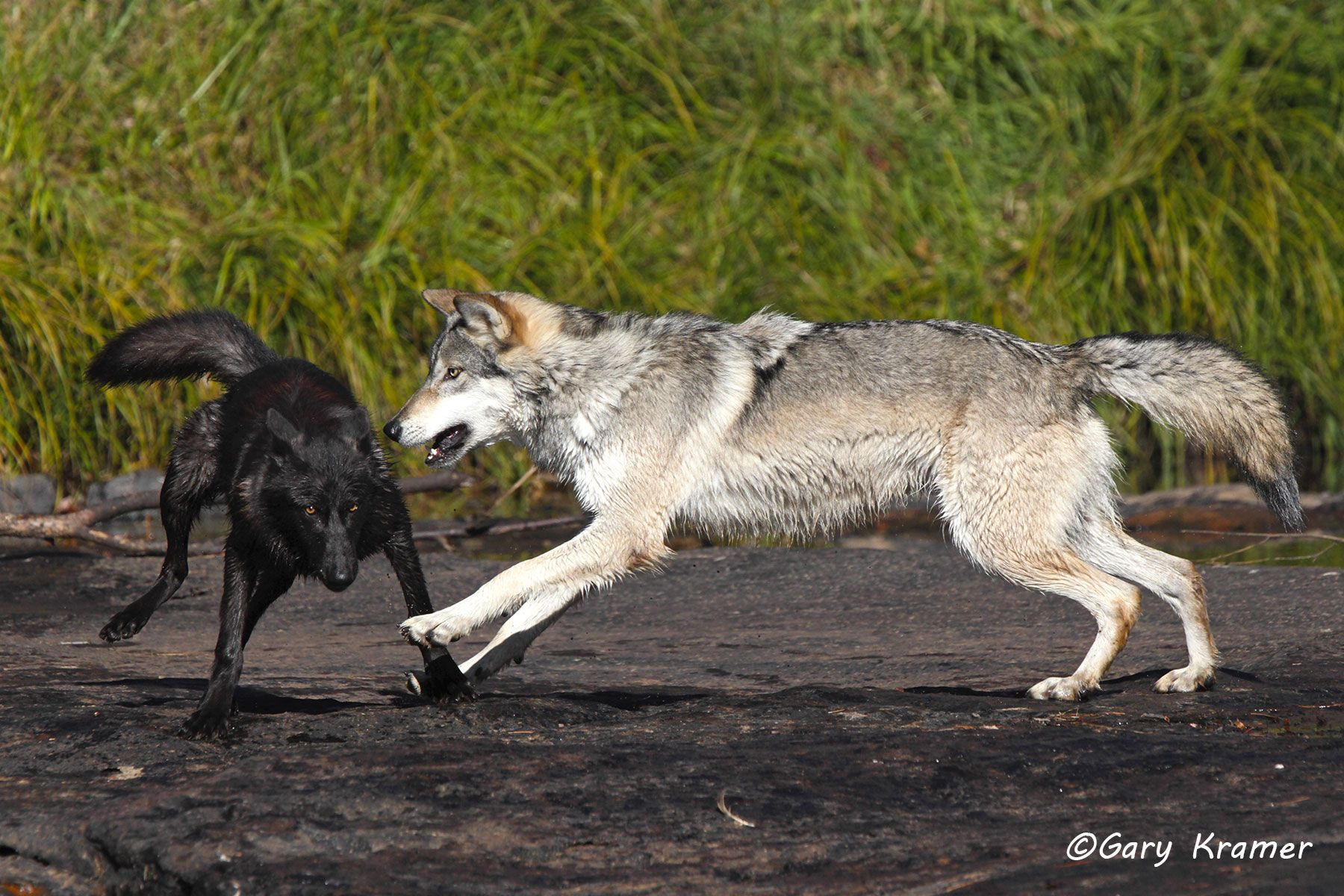 Gray Wolf (Canis lupus) - NMWg#1730d