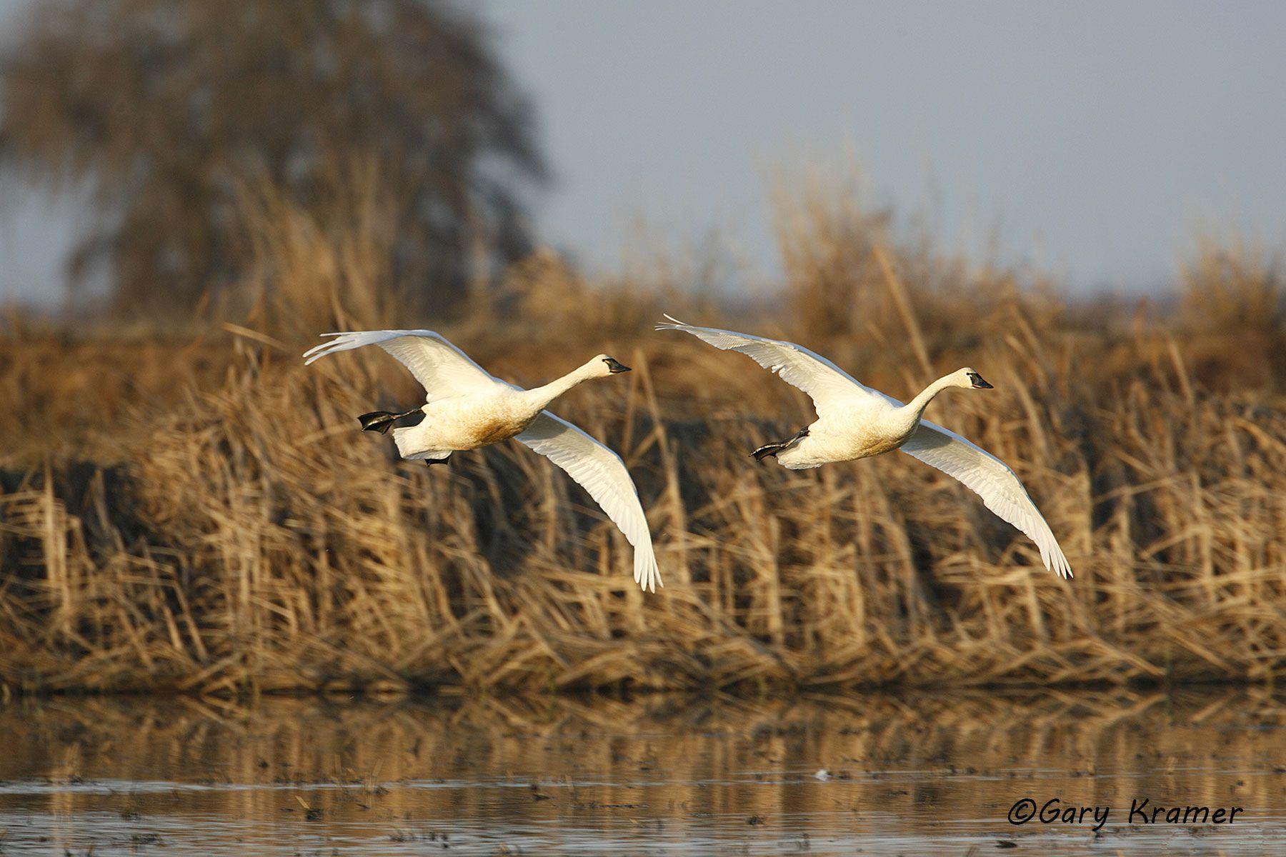Tundra (Whistling) Swan (Cygnus columbianus) - NBWT#188d