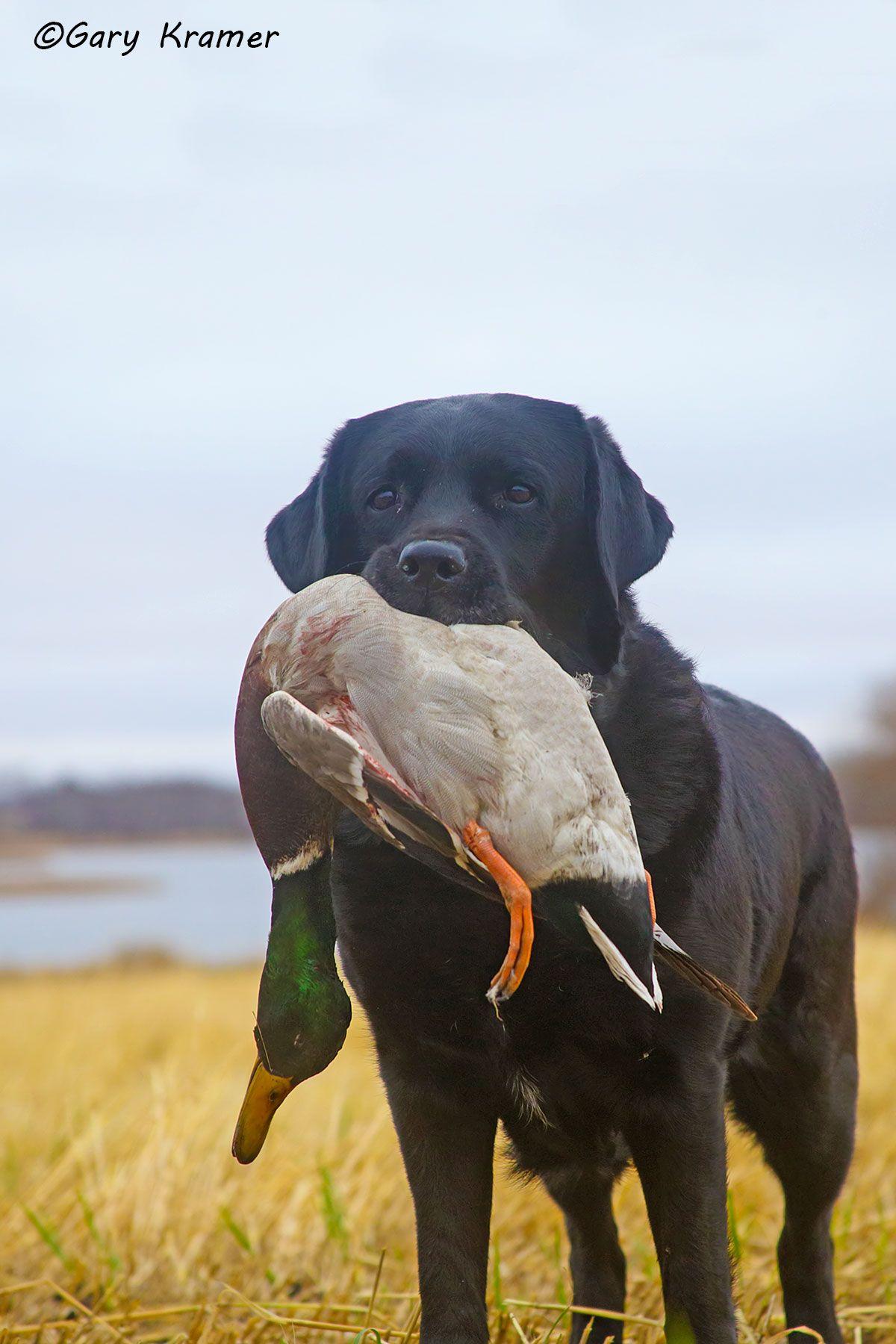 Black Labrador retrieving Mallard - HDLbmr#175d(2)