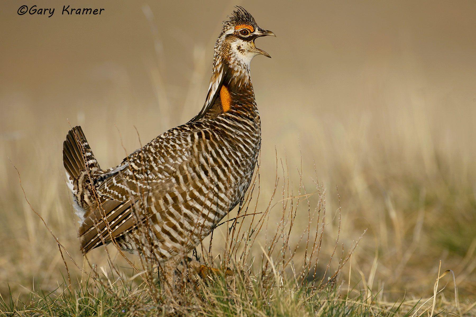 Greater Prairie Chicken (Tympanuchus cupido) - NBGCg#215d