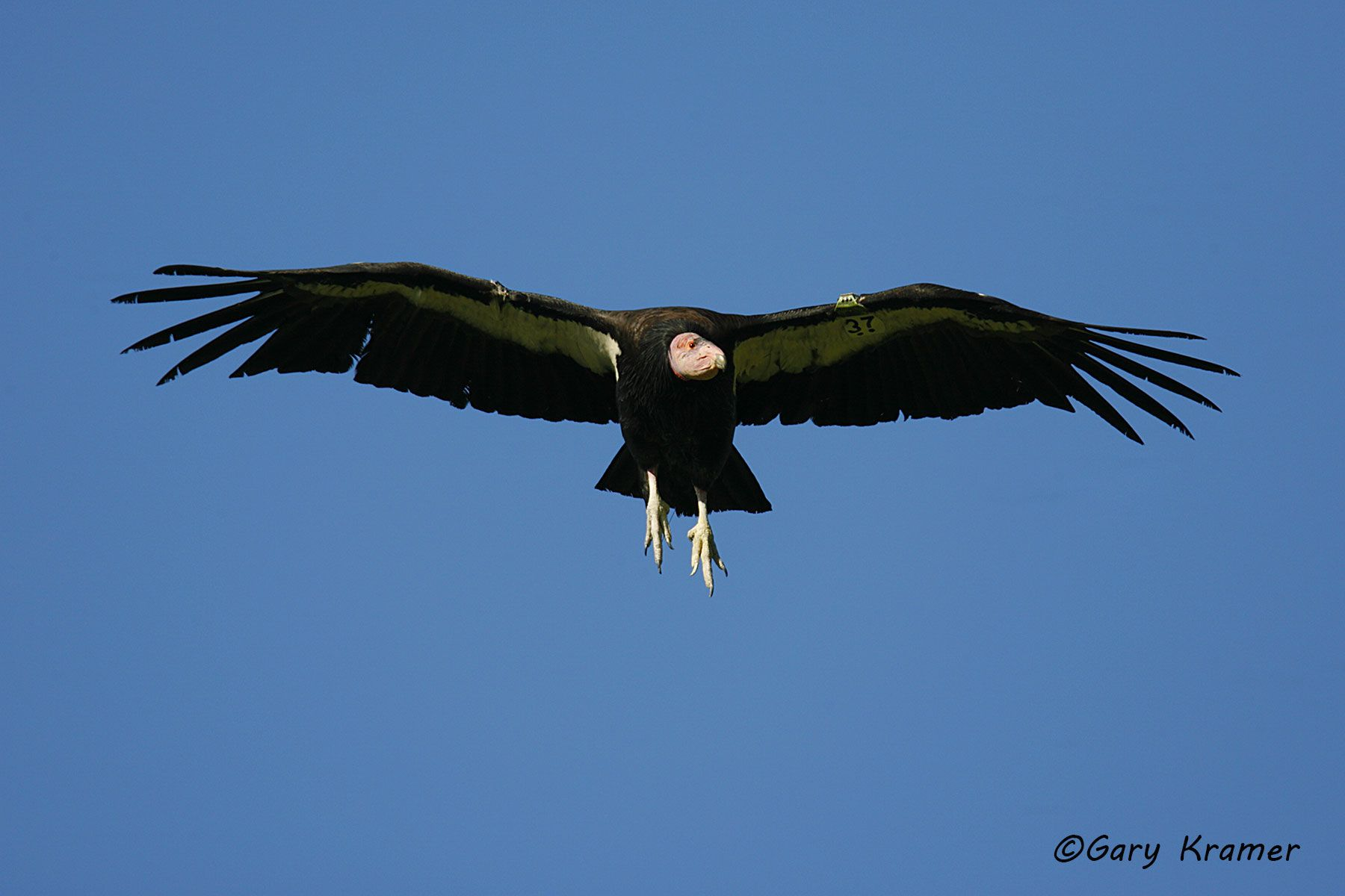 California Condor (Gymnogypus californianus)  - NBVC#341d