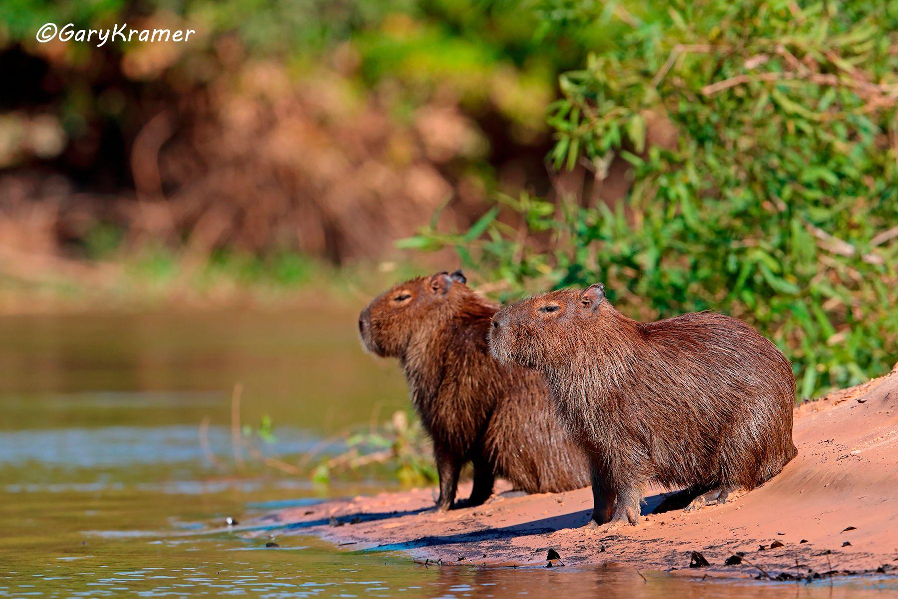Capybara (Hydrochoerus hydrochoerus) - SMCh#009d