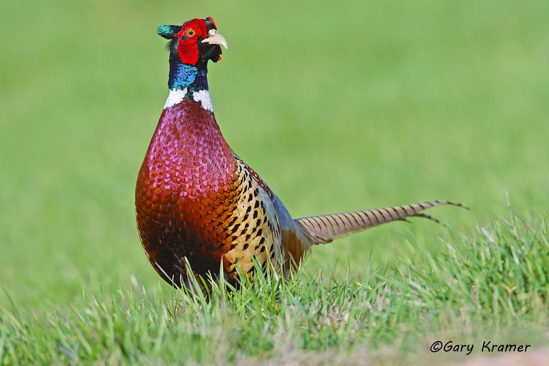 Ring-necked Pheasant (Phasianus colchicus) - NBGP#804d