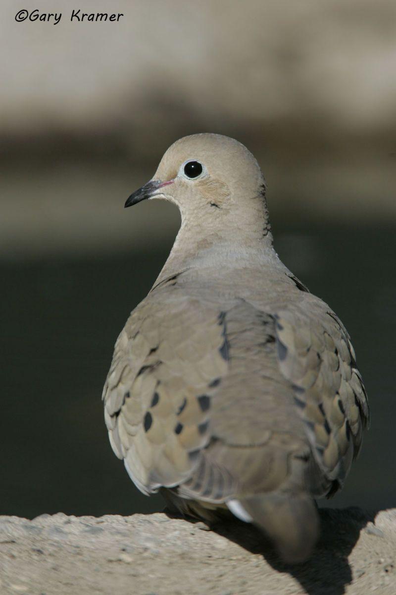 Mourning Dove (Zenaida macroura) - NBDM#292d