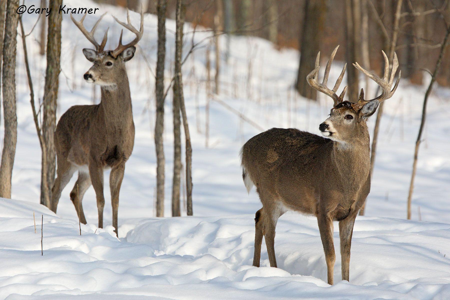 White-tailed Deer (Odocoileus virinianus) - NMDW#540d