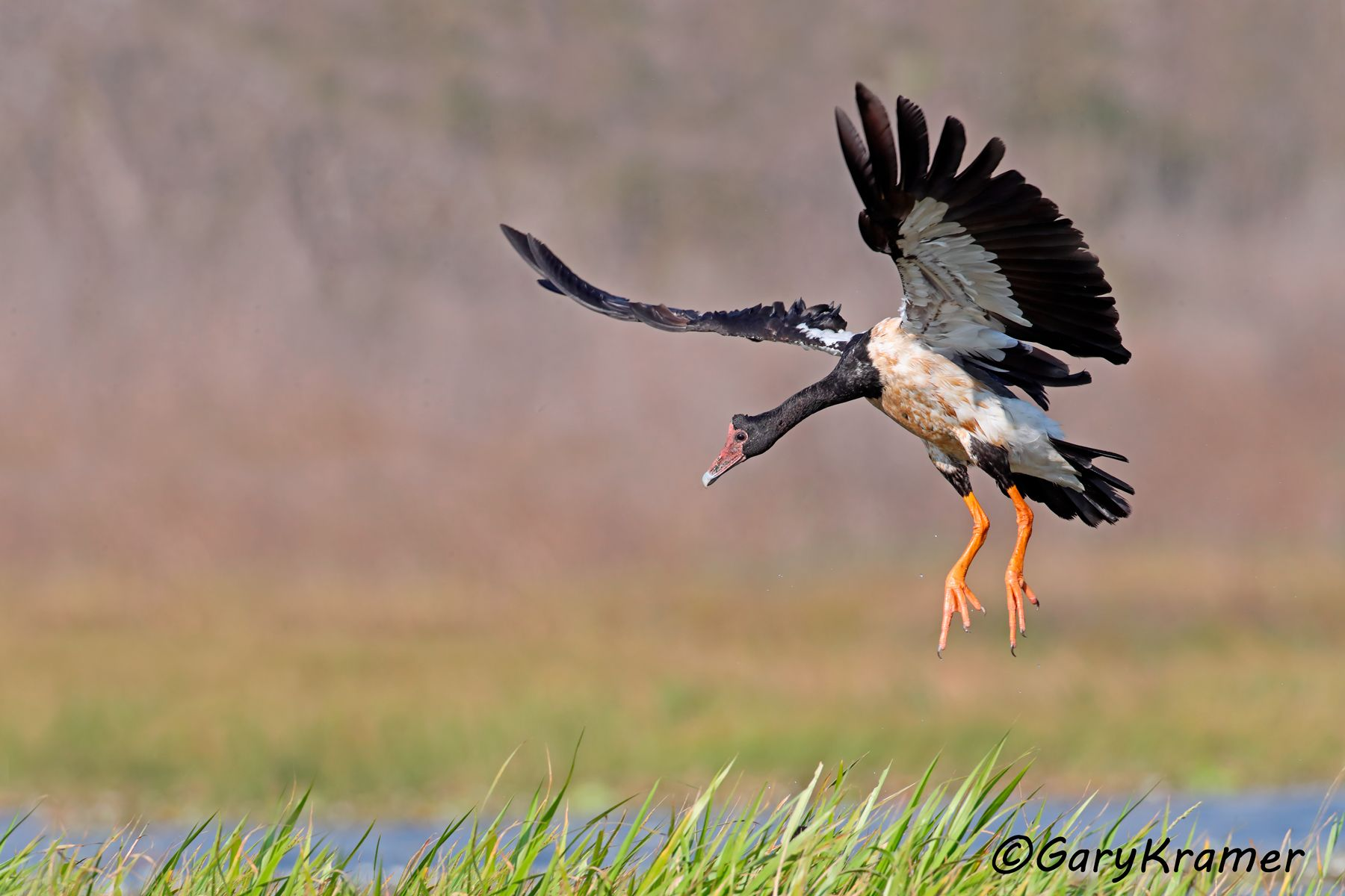 Magpie Goose (Anseranas semipalmata) - OBWGm#121d