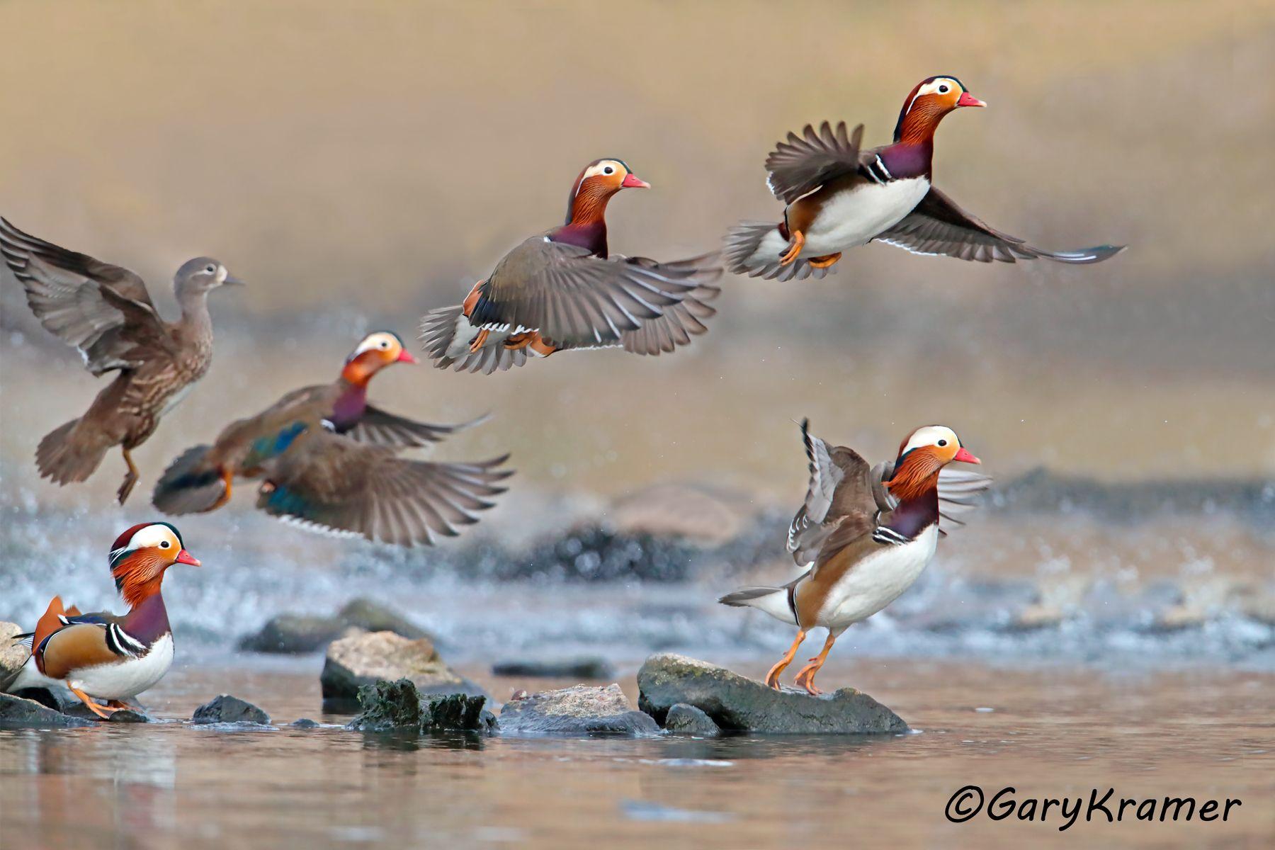 Mandarin Duck (Aix galericulata) - EBWM#413d(3)