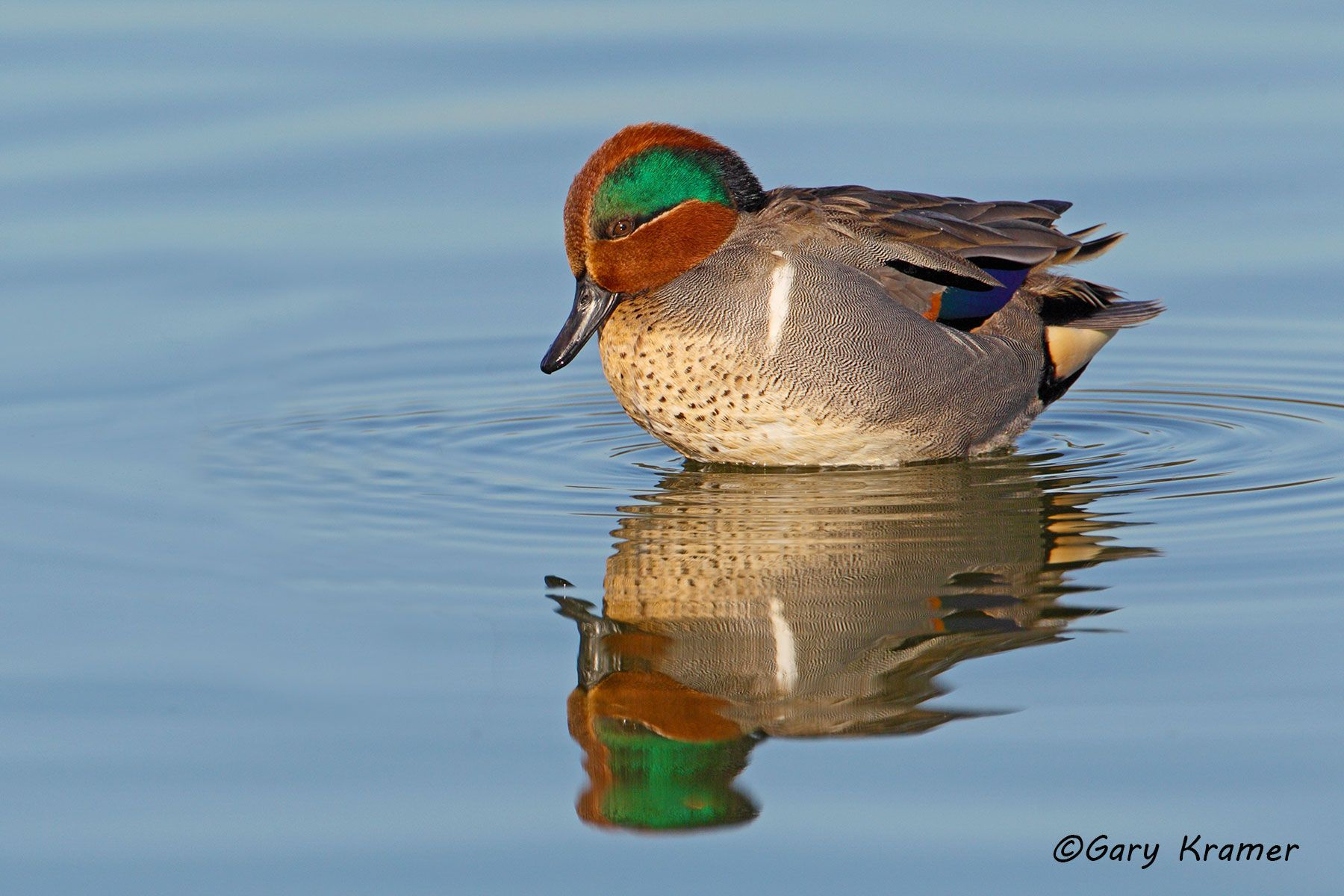 Green-winged Teal (Anas crecca) - NBWTg#784d(2)