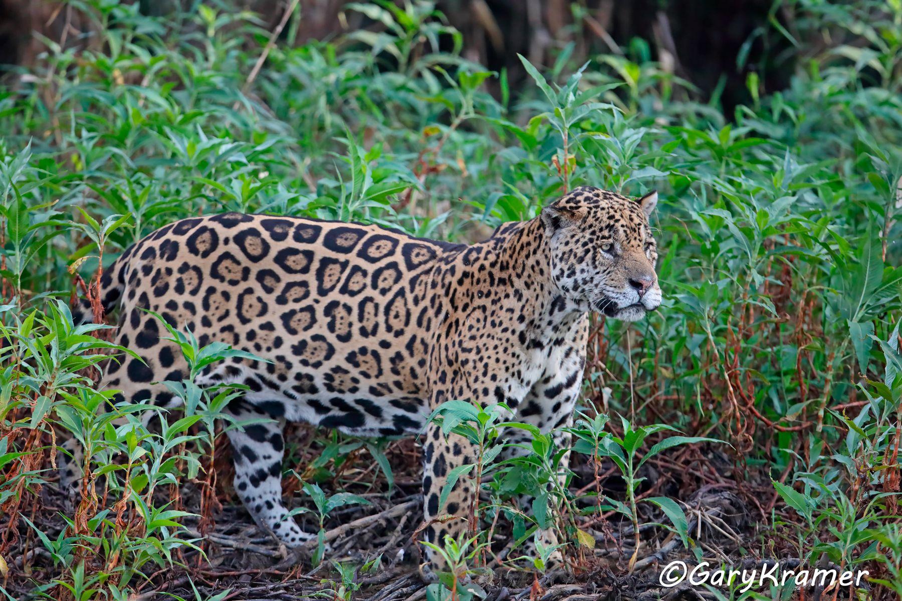 Jaguar (Puma onca) -SMJp#472d
