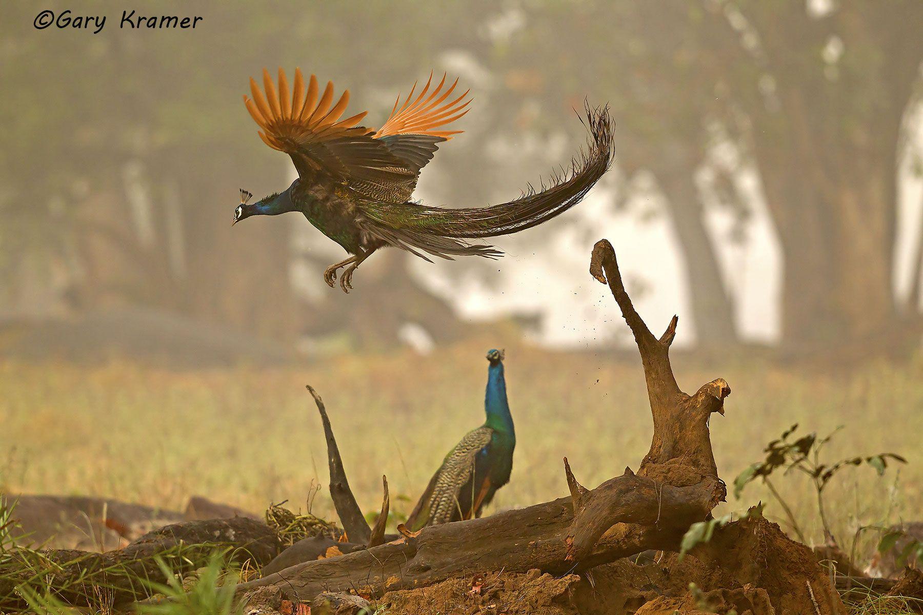 Indian (Common) Peafowl (Pavo cristatus) - AsBP#007d
