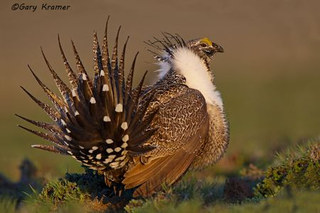 Grouse - Sage - sharp-tailed - Spruce