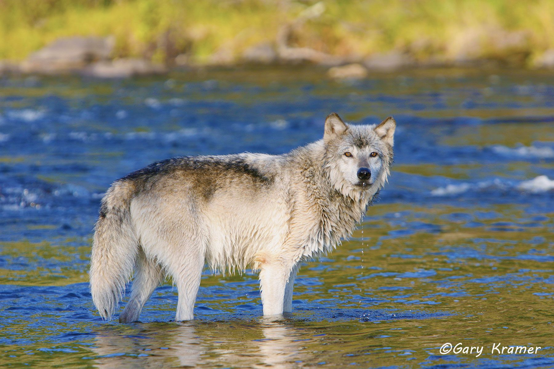 Gray Wolf (Canis lupus) - NMWg#771d