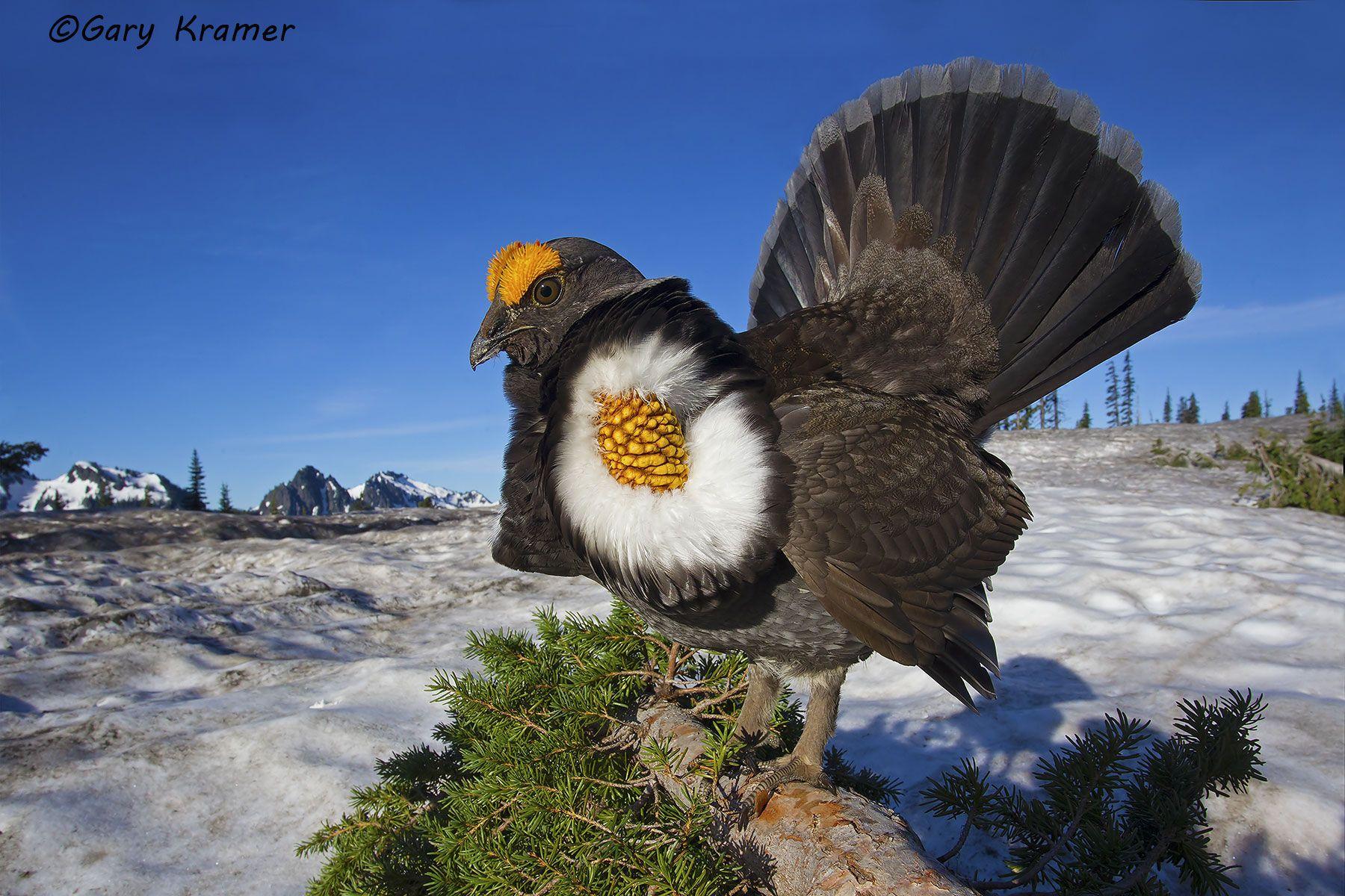 Sooty Grouse (Dendragapus fuliginosus) - NBGsf#1151d