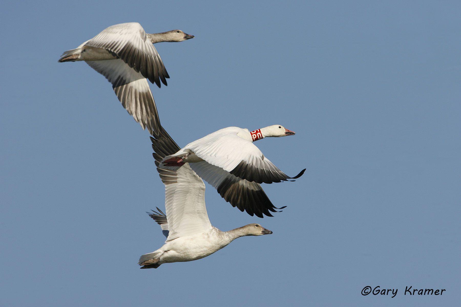 Lesser Snow Goose (Chen caerulescens) - NBWSg#993d