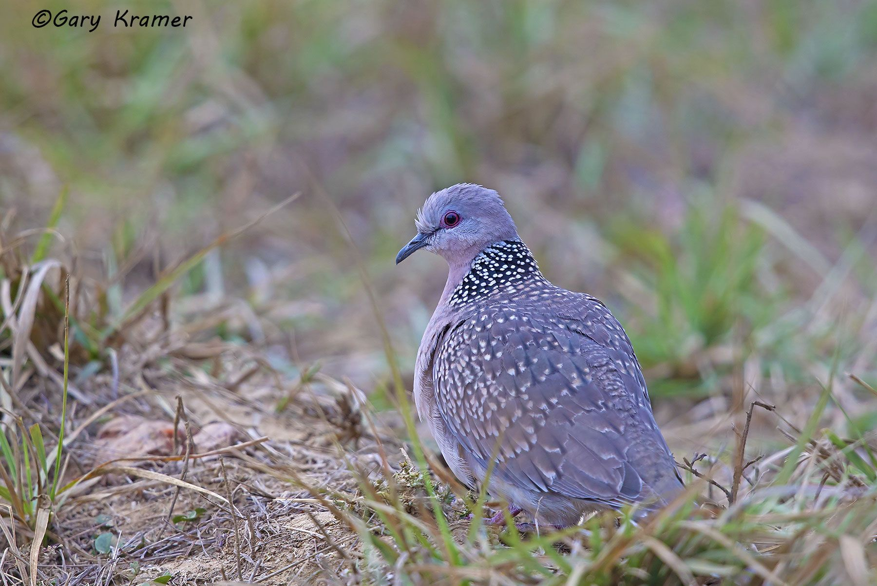 Spotted Dove (Streptopelia chinensis) - IBDs#004d