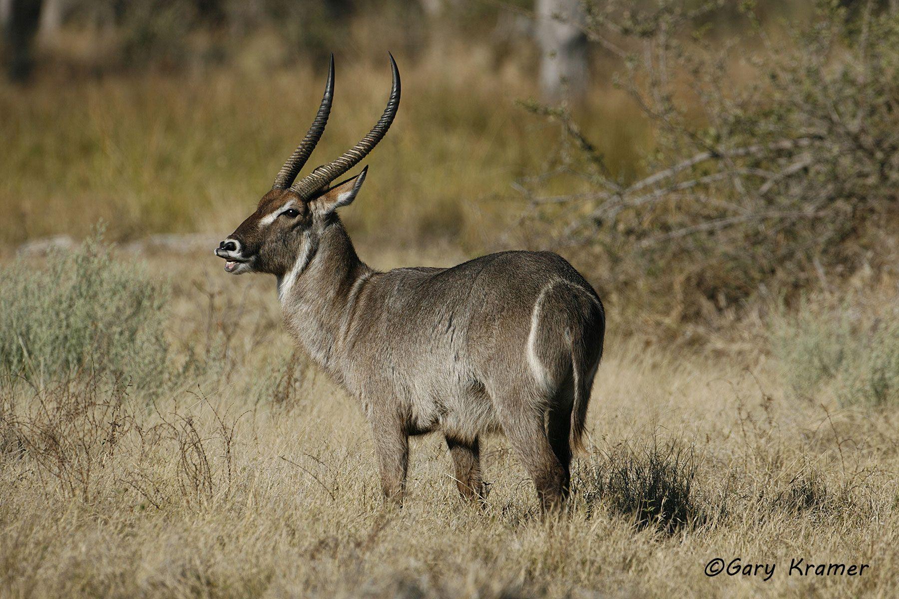 Common Waterbuck (Kobus ellipsiprymnus) - AMUW#128d