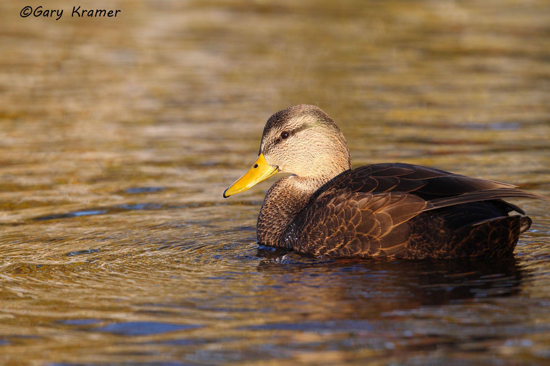 American Black Duck (Anas rubripes) - NBWBb#719d