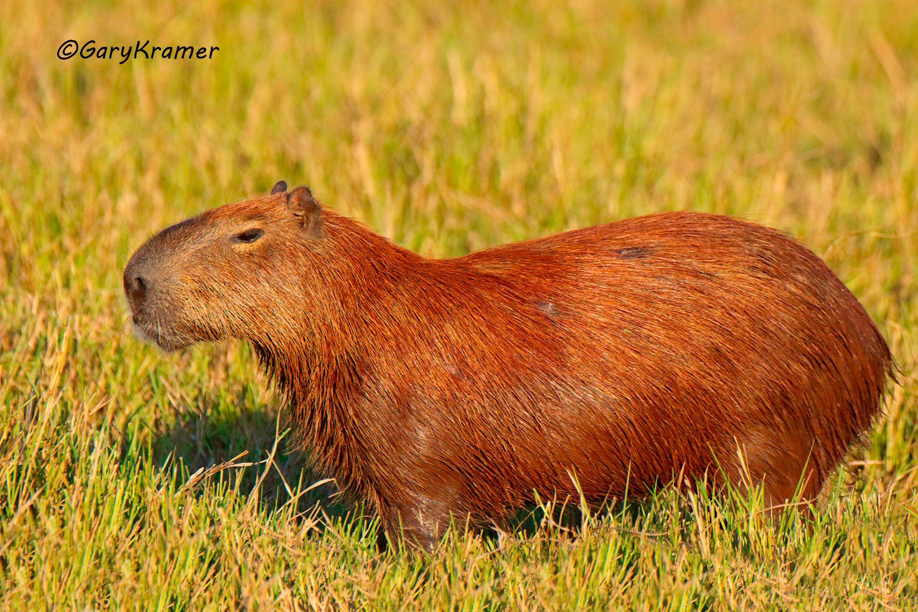 Capybara (Hydrochoerus hydrochoerus) - SMCh#038d
