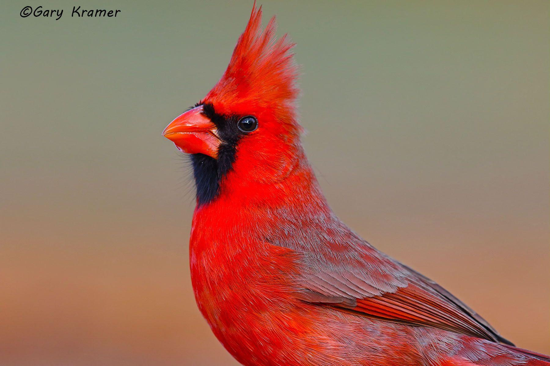 Northern Cardinal (Cardinalis cardinalis) - NBTC#217d