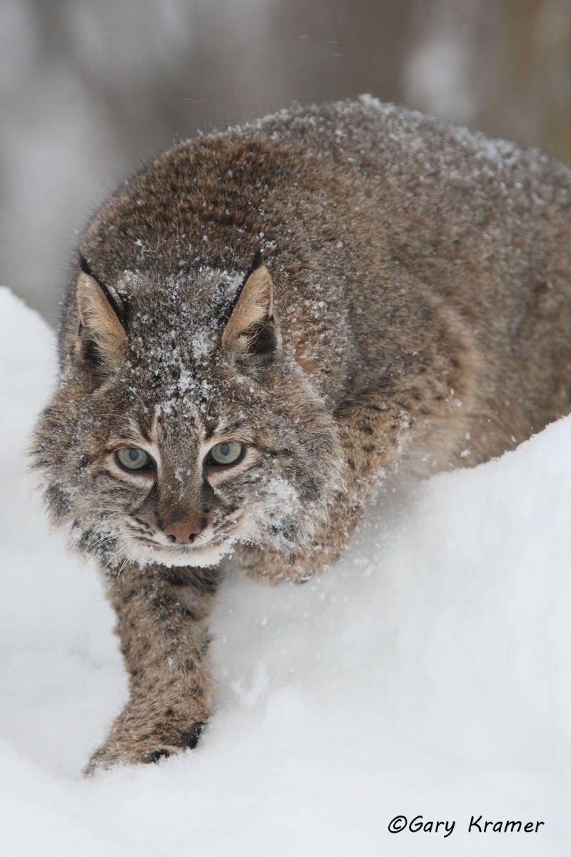 Bobcat (Lynx rufus) - NMCB#224d