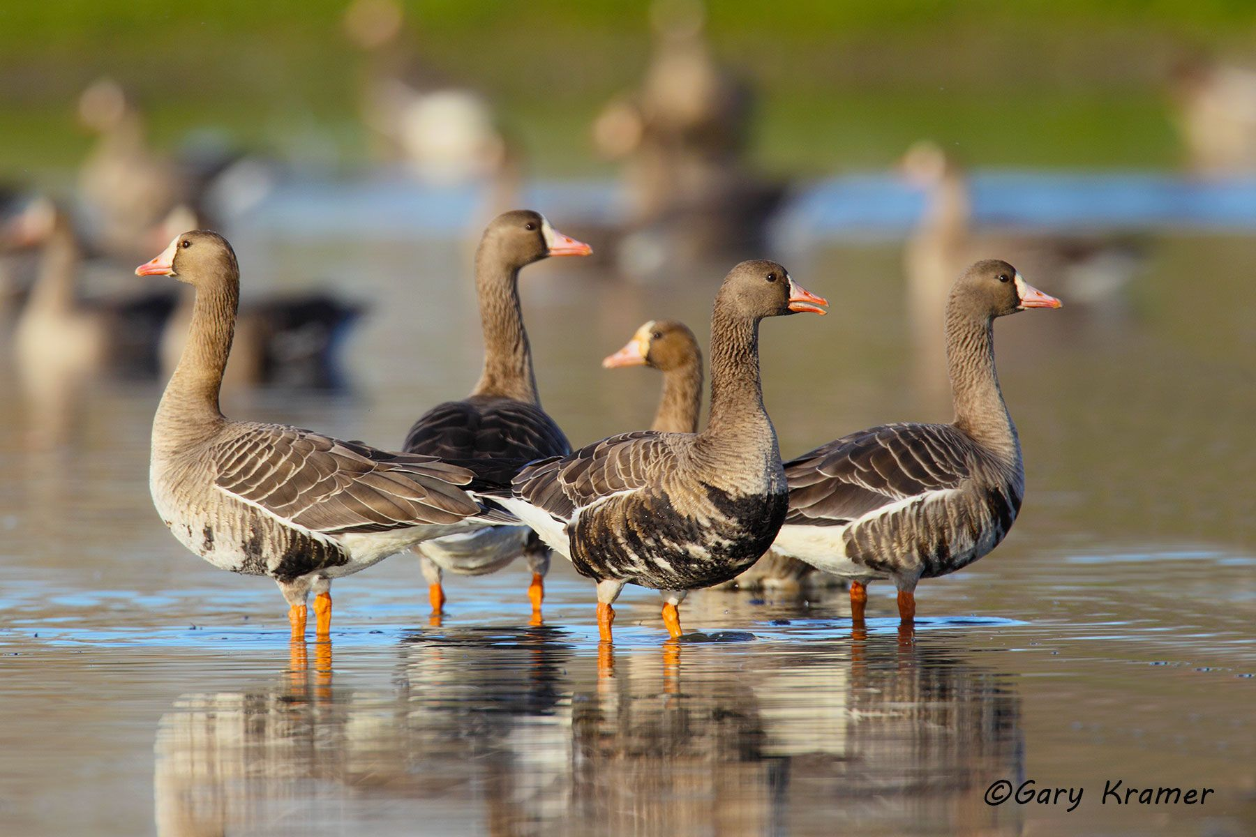 White-fronted Goose (Anser albifrons) - NBWWf#887d